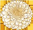 chrysanthème